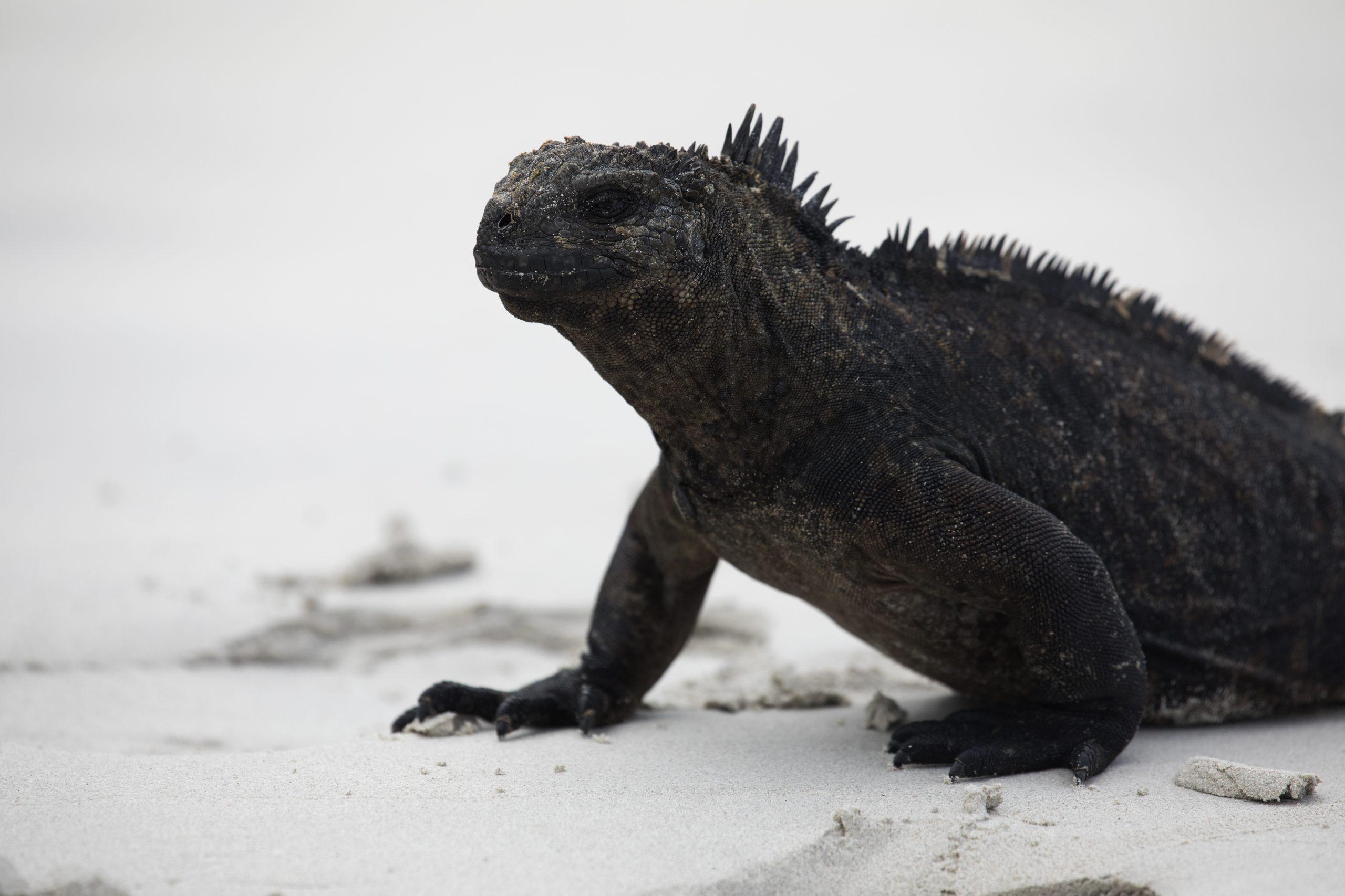 L'iguane des Galapagos