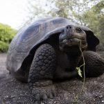 Tortue géante des Galapagos