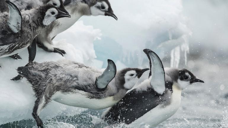 Les bébés manchots empereurs plongeant dans l'antarctique