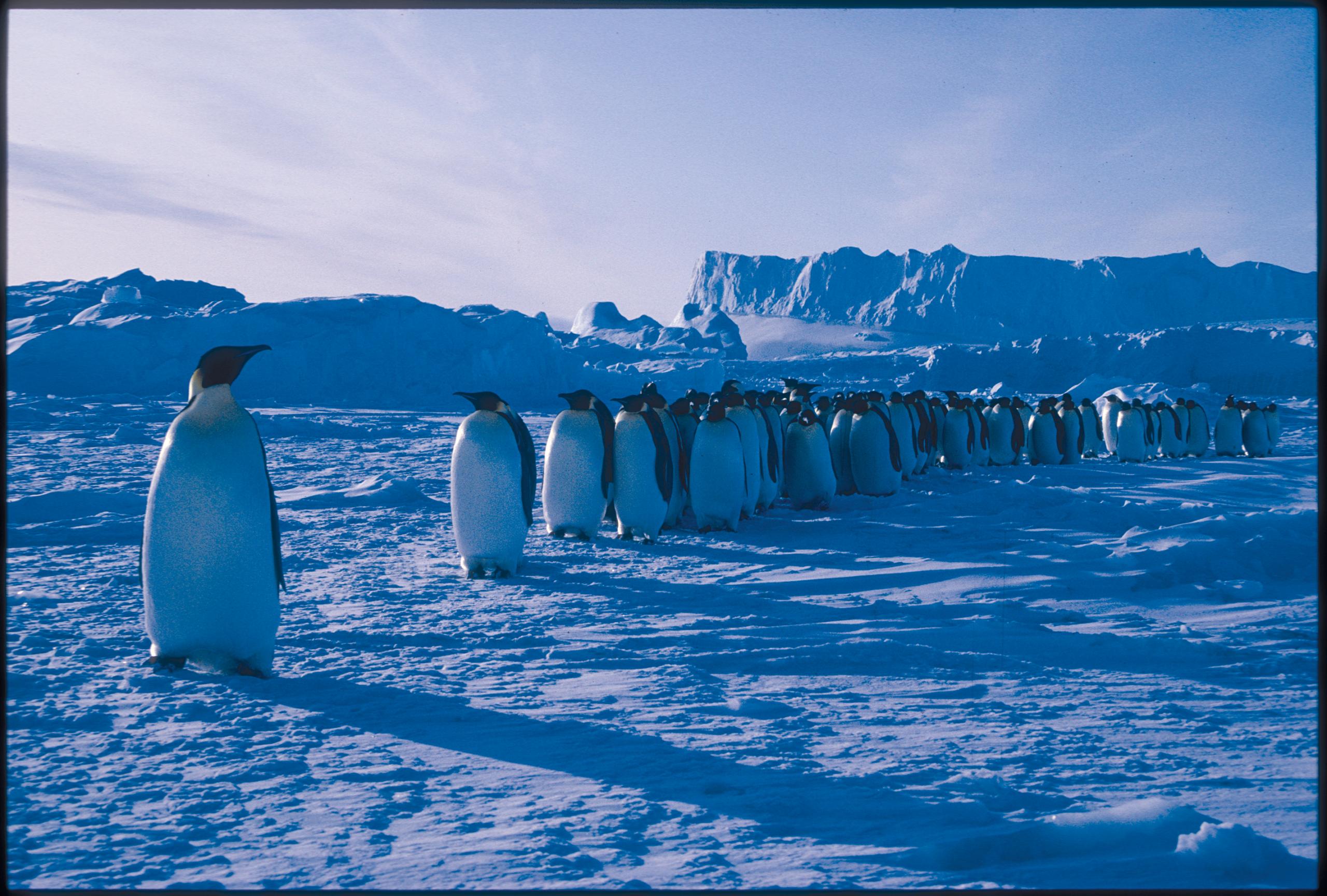 Les manchots en Antarctique